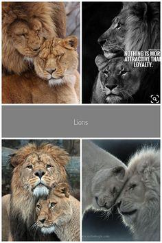 Lions.  babies #lion love Imgur