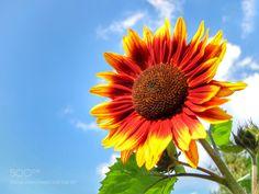 Sunflower by JarinDospec #nature #mothernature #travel #traveling #vacation #visiting #trip #holiday #tourism #tourist #photooftheday #amazing #picoftheday