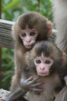 a cute monkey! - Funny Monkeys - Funny Monkeys meme - - As soft as. a cute monkey! Cute Baby Monkey, Pet Monkey, Cute Little Animals, Cute Funny Animals, Funny Monkeys, Little Monkeys, Monkey Coloring Pages, Tier Fotos, Cute Animal Pictures