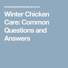 Winter Chicken Care: Common Questions and Answers