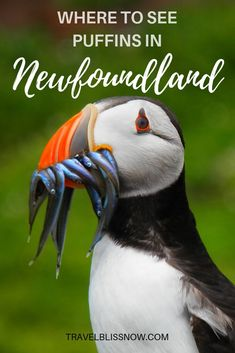 The place To See Puffins in Newfoundland, Canada - Best Of Travel Destinations Newfoundland Canada, Newfoundland And Labrador, Toronto Canada, Quebec, Travel Destinations, Travel Tips, Solo Travel, Travel Ideas, Travel Icon