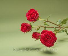 Baby Rio® RED MIKADO Spray Rose