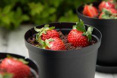 Jordbærdessert med spiselig sjokoladejord