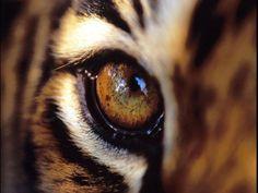 Eye of a tiger.