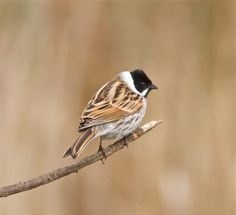 Reed bunting  at Sculthorpe Moor on 13/04/2012. Contributed by:Alex McLennan