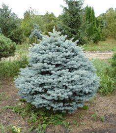 Rich's Foxwillow Pines Nursery, Inc. - Picea pungens – 'Thuem' Dwarf Colorado Spruce