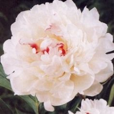 buying all kinds of Peonies