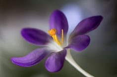 Crocus by Mandy Disher on 500px
