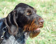 German Wirehaired Pointer, Deutscher Drahthaariger Vorstehhund, Another View by ozoni11, via Flickr