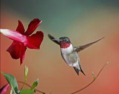 """My favorite!  Grandma always called me """"my little hummingbird"""""""