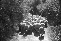 Jean Pickard leading her flock by James Ravilious © Beaford Arts