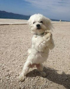 ..Maltese do this all the time, they hop & jump around..                                                                                                                                                                                 More #maltese