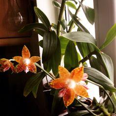 Phalaenopsis ambonosa