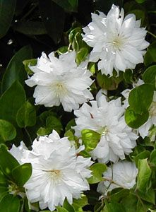 Top 10 tips on growing gorgeous clematis vines the ojays the clematis arctic queen evitwo blooms on both old and new wood lovely double white flowers with yellow anthers mightylinksfo
