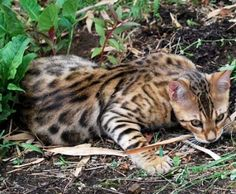 Bengal+Cat+Characteristics.+What+To+Consider+Before+Buying.