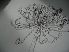 agapanthus drawing... by my beautiful daughter Abigail....
