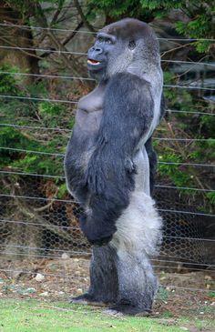Ambam the Gorilla walks around his enclosure at Port Lympne Wild Animal Park in Kent. 27/01/2011