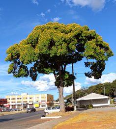 PONCIANELLA PLUVIOSA (sibipiruna). Médio a grande porte, cresce de 8 a 16m de altura. Nativa, de todos os biomas. Copa arredondada com até 6m de diâmetro, semidecídua. Floração intensa e muito ornamental de agosto a novembro.