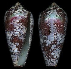 Darioconus pennaceus  Born, I. von, 1778  Feathered/Saffron Cone  Shell size  35 - 88 mm  Indo-W Pacific