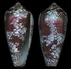 Darioconus pennaceus  Born, I. von, 1778  Feathered/Saffron Cone  Shell size  35 - 88 mm  Indo-W Pacific