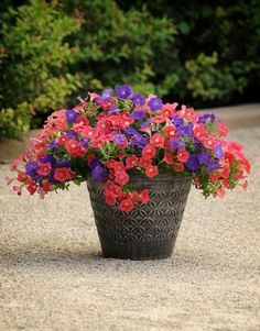 Shock Wave Denim and Shock Wave Coral Crush Petunias make a great combo, with the Denim Petunias creating a dark contrast for the ravishing Coral Crush Petunia -- almost identical to the Pantone Color of the Year Living Coral. Container Plants, Container Gardening, Colorful Flowers, Beautiful Flowers, Cape Gooseberry, Hanging Flower Baskets, Shock Wave, Annual Flowers, Backyard Projects