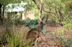 """A """"Land for Wildlife"""" property where guests can enjoy secluded cabins tucked away in the forest, walking trails and freely roaming wildlife. Secluded Cabin, Land Trust, Australia Hotels, Rustic Charm, Western Australia, 4 Star Hotels, Car Parking, Good Night Sleep, Cottages"""