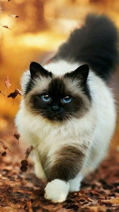I seriously love ragdoll kittens. best images ideas about ragdoll kitten - most affectionate cat breeds - Tap the link now to see all of our cool cat collections! Cute Baby Cats, Cute Little Animals, Cute Cats And Kittens, Kittens Cutest, Cute Fluffy Kittens, Super Cute Kittens, Funny Kittens, Funny Pugs, White Kittens