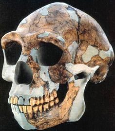 Homo Habilis  --  2.33--1.44 MYO  --  A species of the Hominini Tribe which lived during the Gelasian Pleistocene Era.