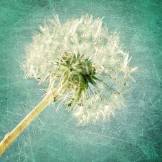Dandelion, Turquoise, White, Green, Macro, Fine Art Photography, fPOE, (2 sizes)