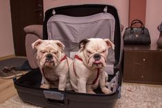 "❤ ""Yes daddy! We want to come with you. We know how to ruin a business trip!"" LOOK @ those EXPRESSIONS. Oh our babies so know how to wrap us around their little tails!! ❤ Posted on Baggy Bulldogs"
