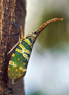 Lantern Fly On Tree by aeschylus18917, via Flickr