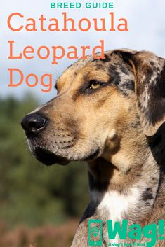 Everything you need to know about Catahoula Leopard Dogs, whether you own one or you're thinking of getting a new puppy! Puggle Puppies, Pomsky Dog, Lousiana Catahoula Leopard Dog, Catahoula Cur, Designer Dogs Breeds, Dog Dna, Big Dog Breeds, Herding Dogs, Dog Facts