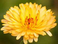 Calendula (marigold): October birth flower