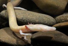 El olm habita en las cuevas de Europa Central. Es uno de los pocos anfibios que es totalmente acuático – come, duerme y cría bajo el agua. Pasa toda su vida en completa oscuridad. Nunca ha desarrollado ojos y en su lugar tiene increíbles sentidos del oído y el olfato. La contaminación del agua ha diezmado su población.