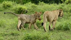 Shire and her cubs