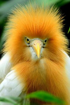 Cattle Egret - colorful fellow rocking some fun feathers.