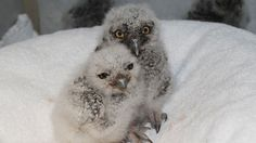 Washington State University is treating nine great horned owlets until they are strong enough to survive on their own.