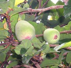 Fruits of Ficus pumila, Creeping fig, Climbing fig. Quả Trâu cổ, Xộp, Sung thằn lằn... Ficus Pumila, Fruit Salad, Seeds, Apple, Plants, Food, Nature, Apple Fruit, Fruit Salads