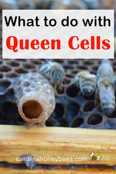 What to do when you find queen cells in your hive. How can you use queen cells in beekeeping? Honey Bee Hives, Honey Bees, Harvesting Honey, Rainwater Harvesting, Bee Facts, Bee Hive Plans, Beekeeping For Beginners, Bee Swarm, Raising Bees