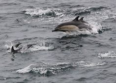 Week in Wildlife: Common dolphins spotted from the Scillonian III, Cornwall