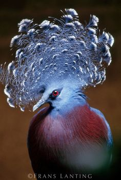 Victoria's crowned pigeon male portrait, Goura victoria, Native to New Guinea