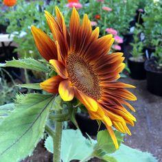 Little Becka dwarf sunflower