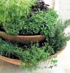 indoor potted herbs to use all winter herb gardening today