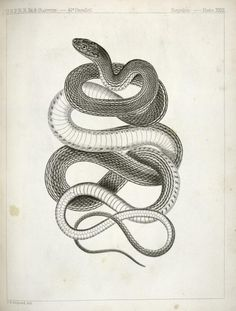 """Eutania vagrans, The Large -headed Striped Snake."" From The Natural History of Washington Territory..., by  J. G. Cooper and George Suckley, 1860"
