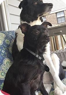 Westport, CT - LITTLE PINK SHELTER - Terrier (Unknown Type, Small)/Affenpinscher Mix. Meet Silly Sid, a dog for adoption. http://www.adoptapet.com/pet/14882517-westport-connecticut-terrier-unknown-type-small-mix