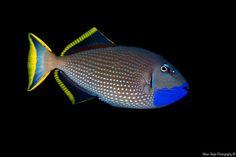 Gilded Triggerfish (Xanthichthys auromarginatus) - Apo Island, Philippines. - Mean Guign Photography