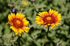Blanket flowers at Arboretum at Flagstaff, AZ