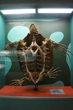 Leatherback turtle skeleton - Smithsonian Institute