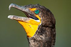 For an otherwise somewhat ugly bird, the Double-crested Cormorant sure does have a gorgeously colored eye.