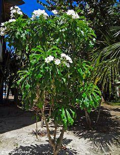 Plumeria Pudica, Plumeria Care, Front Door Christmas Decorations, Garden Plants, Landscape, Floral, Gardening, Memes, Gardening Tips